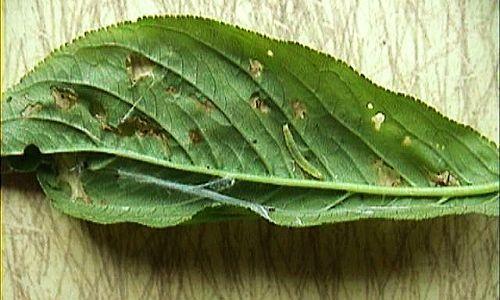 卷叶蛾幼虫