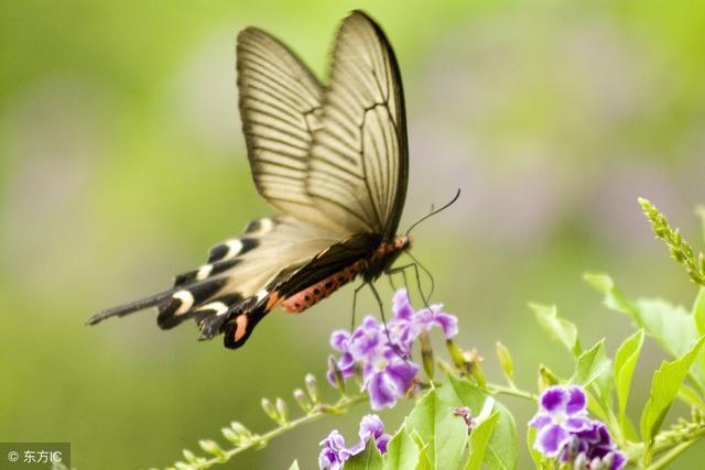 11月17,百年难见的蝴蝶翩翩飞舞(千姿百态皆吉祥,太漂亮了!)