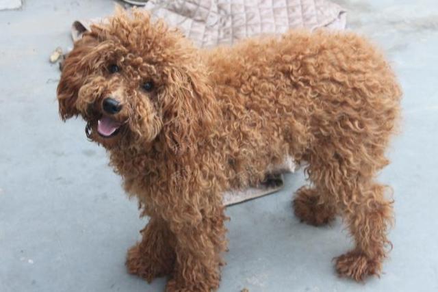 泰迪犬毛发如何整理显得蓬松?