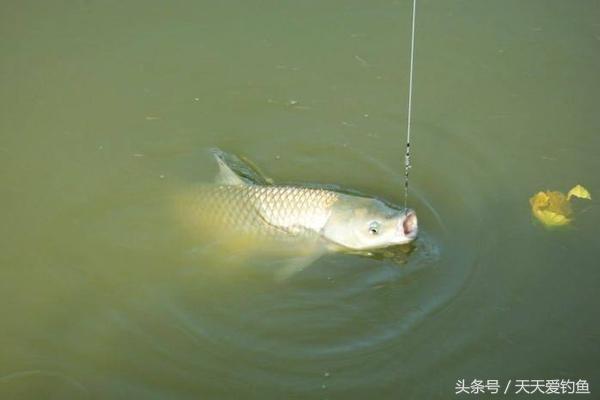 草鱼这么钓就对了,试试这3大绝招,夏季使用,钓一次爽一次