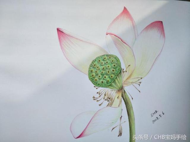 零基础学彩铅第十六课:荷花彩铅手绘详细过程之花蕊花瓣