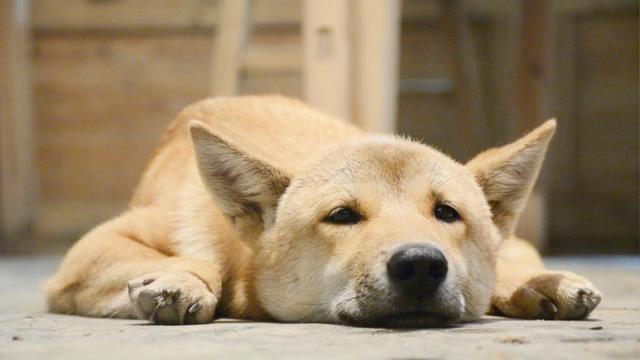 自制狗狗營養餐泰迪