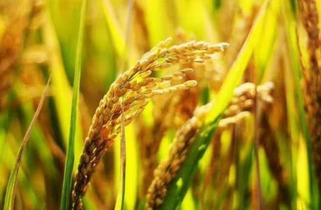中国在迪拜沙漠种出杂交水稻,亩产破纪录,全世界都要感谢中国