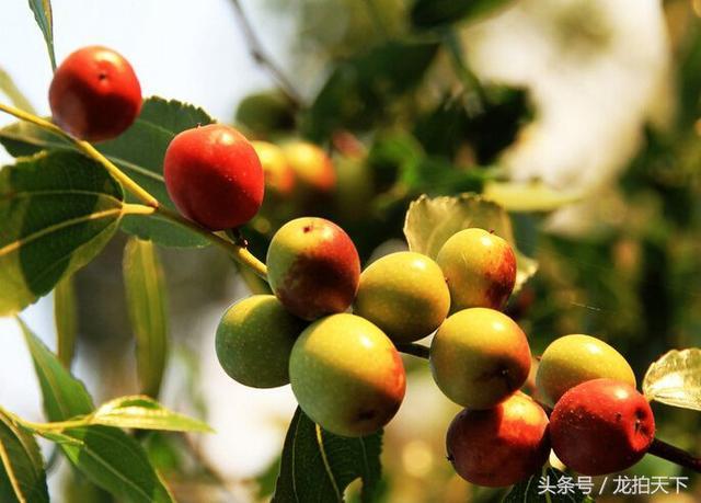 酸枣_正版商业图片_昵图网nipic.com