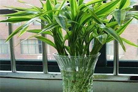 水养富贵竹生根最快法,只需五步就能完成_植物之家