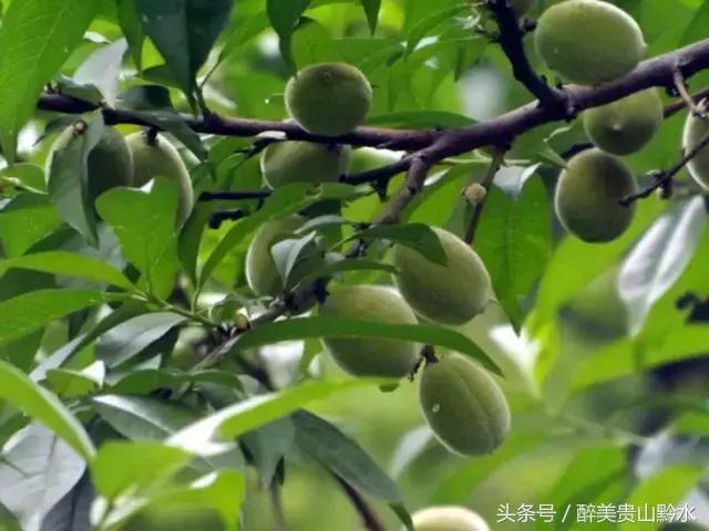 """台山农村山头的这种""""野果""""熟了,你吃过吗?"""