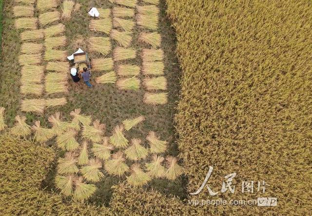 秋天稻谷丰收季节图片 6张 (天堂图片网)