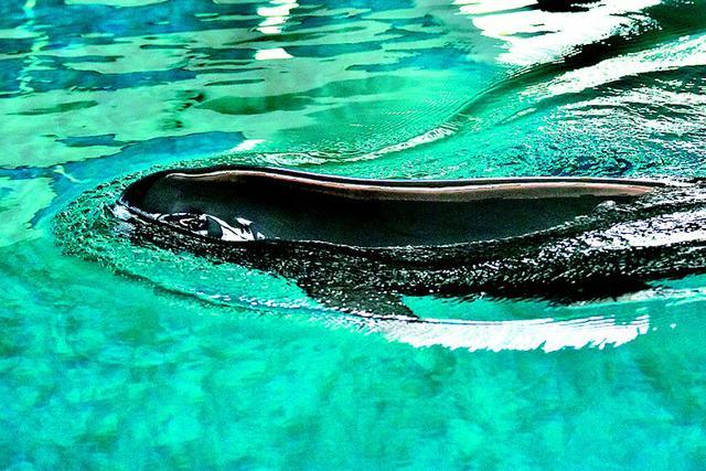 湖北江豚迁地保护工作成为世界典范 保护江豚已超120头