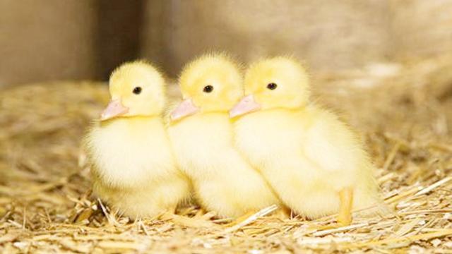 一群小鸭子过马路,屁颠屁颠的跟在妈妈身后,天鹅舞跳得溜啊