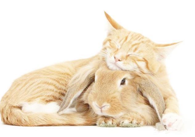 """猫咪和兔子神同步,铲屎官遇上""""猫猫兔"""",小兔子长成猫咪样!"""