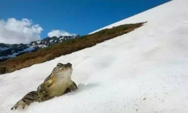 雪蛤-百科