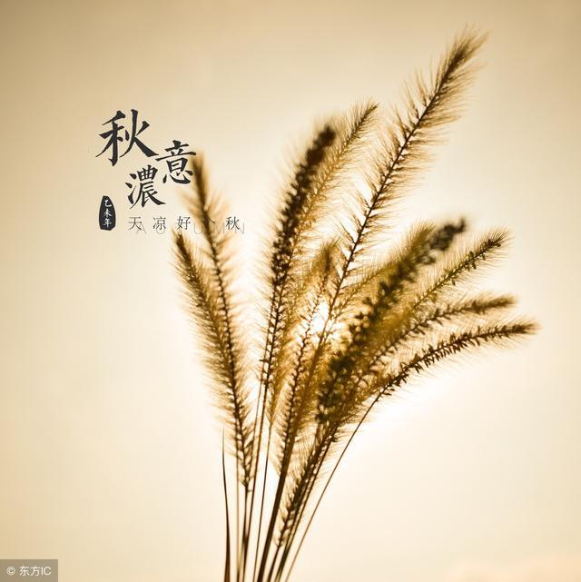 图虫生态摄影:狗尾巴草