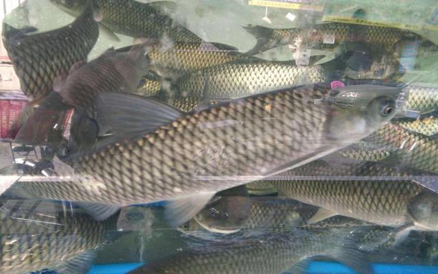 吴说钓鱼:秋季钓草鱼的几点体会和技巧