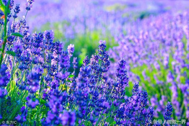 十二星座的花语,原来我的是薰衣草,你的是什么?