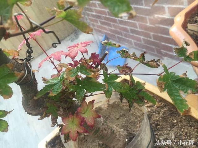 三角枫发新芽后怎么叶尖有问题