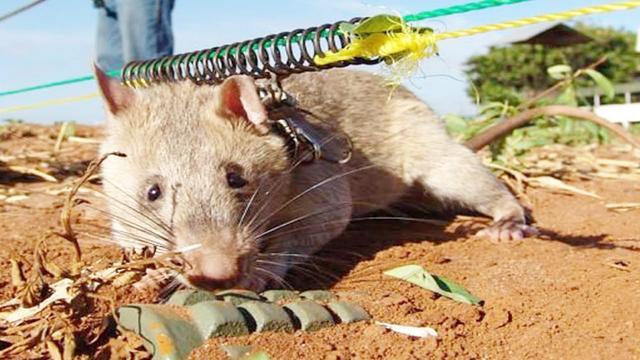 英国一房产惊现5只巨鼠 最大一只长30厘米长