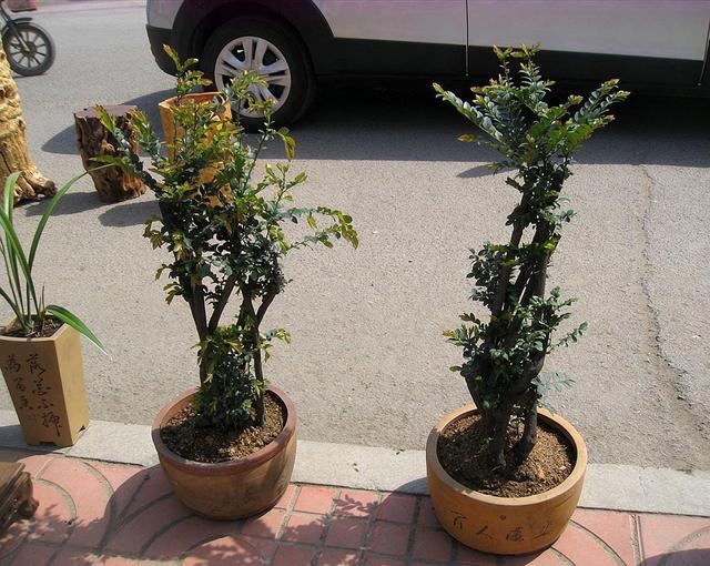 盆景小叶紫檀如何养_小叶紫檀盆景的养护方法
