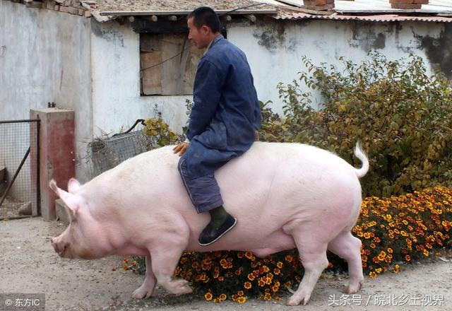 这头重达千余斤的大肥猪和普通猪相比,俨然庞然大物,网友说养着