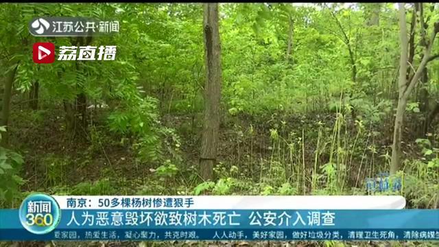 """谁这么缺德!南京江北50多棵杨树惨被""""黑手""""环切:或缺养分供应枯萎而亡"""