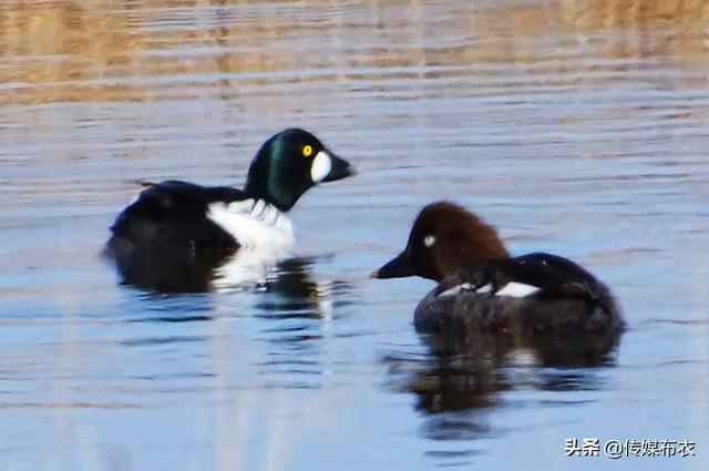 农村这种黑色水鸭子,售价比普通鸭子高1倍,养殖效益可观