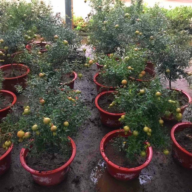石榴盆景的适宜品种及制作关键技术