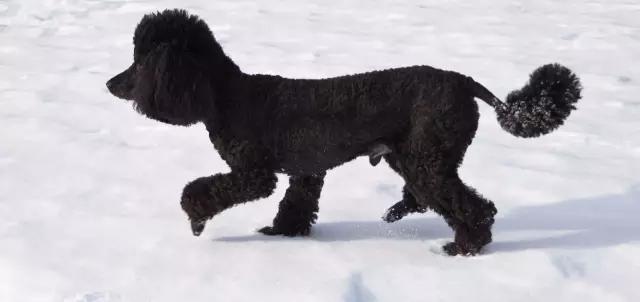 泰迪狗的经典发型,你还认得出几只?