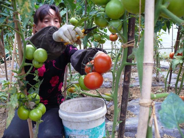 西红柿栽培要点和技术管理,自己在家种植西红柿,绿色美味又省钱