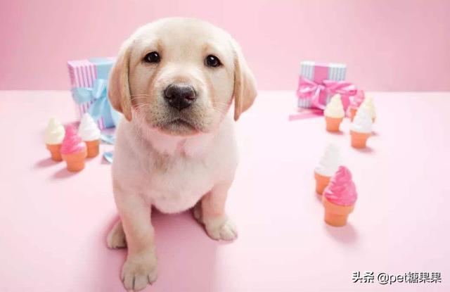 新手铲屎官想养只宠物犬,公狗和母狗该如何选择?