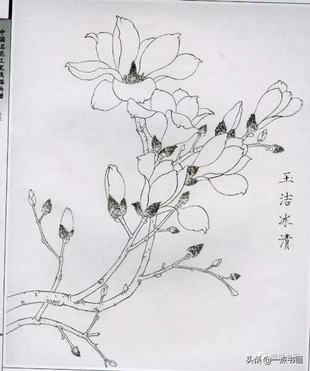 玉兰花工笔画线描
