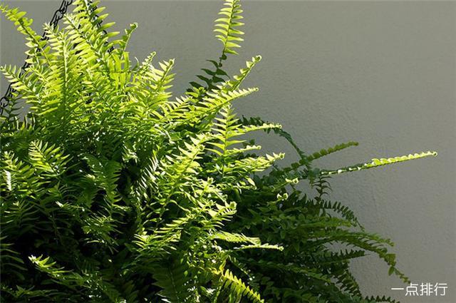 10种净化室内空气绿植排行,绿萝排第8,龟背竹滴水观音未上榜