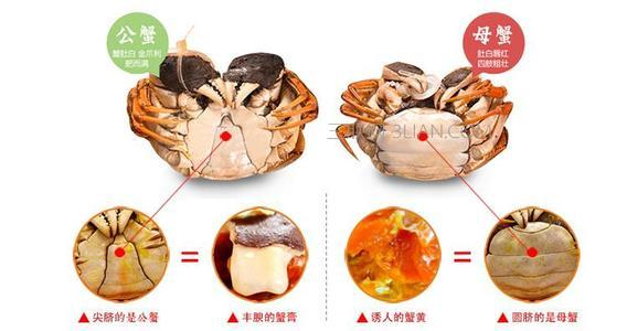 螃蟹公母区分图片
