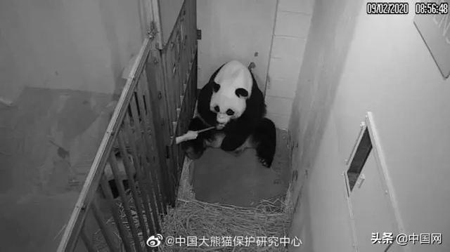 熊猫卡通图片