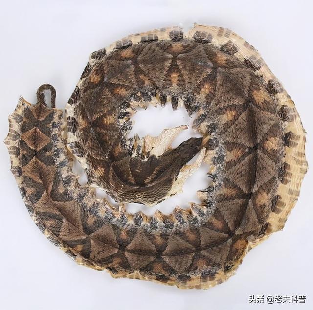 百步蛇纹身