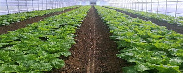 生菜怎么种植