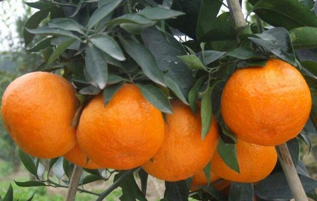 柑桔的冬季管理措施