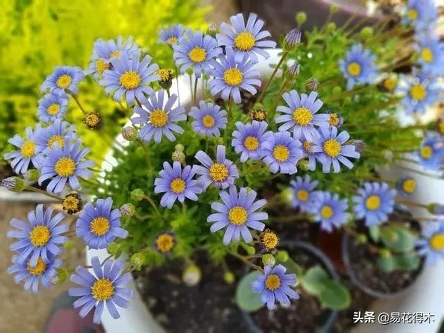 雏菊花,锁屏图片,手机壁纸,植物-回车桌面