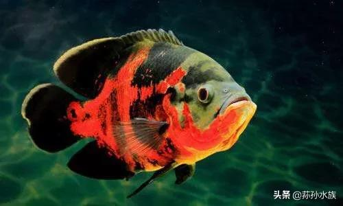 地图鱼公母区分图片