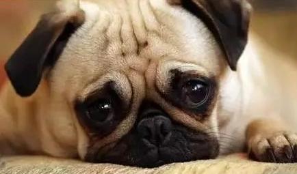 泰迪狗总流泪怎么回事
