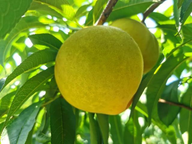 长寿清水的富硒黄桃丰收,却愁坏了果农