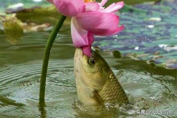 夏季钓草鱼,还是这招狠