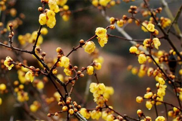 北方既耐寒又名贵树种
