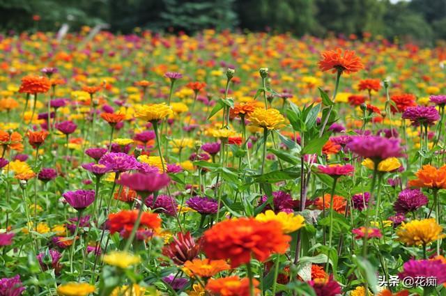 花坛看到这种花,一定采些种子,来年种在户外,轻松变花海