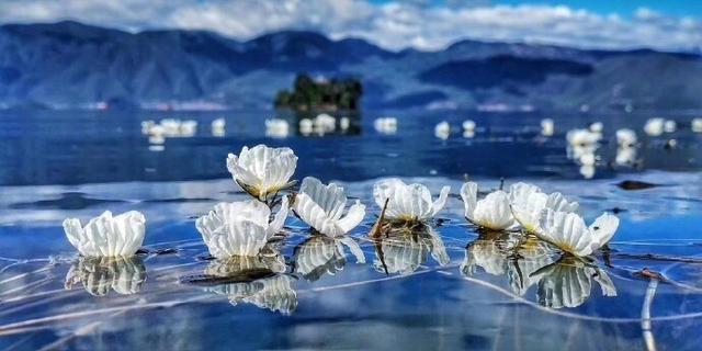 每年到了海藻花盛开的时候,就是泸沽湖最美的时间。