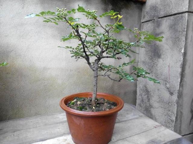 花椒的种植方法和时间_养殖致富网