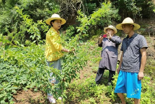 湖北宜昌:厅官当农民,听专家教落叶水果秋季管理,做好4件事