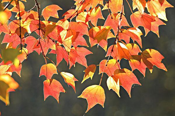 五角枫树图片