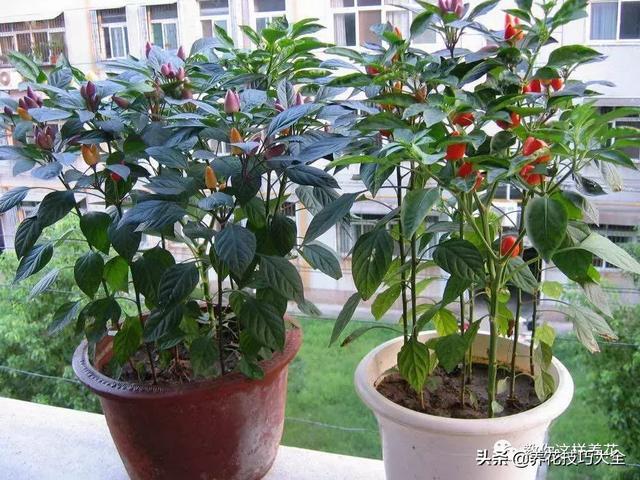 大牛角辣椒什么品种好?