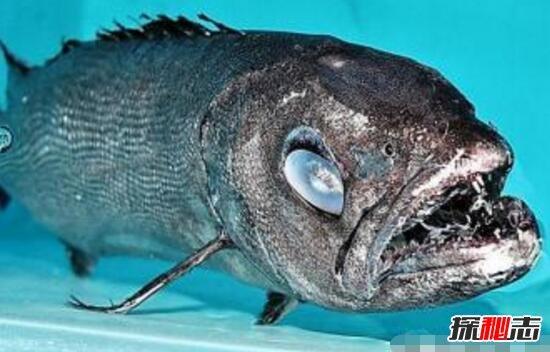 有一种淡水鱼十多厘米长,嘴上有一根长刺叫什么鱼?
