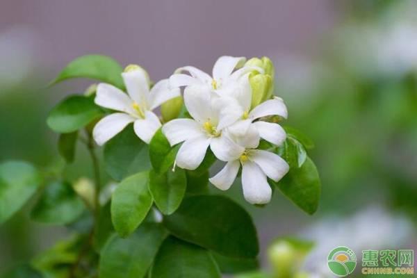 千里香盆栽的繁殖