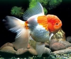 养鱼教学:金鱼生病征兆及防治
